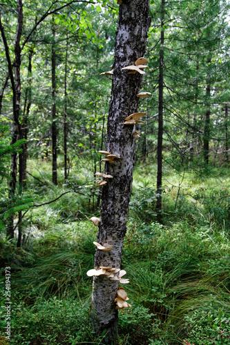 Chaga mushroom - 254894373