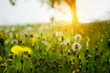 Yellow gentle dandelions and other flowers on the spring meadow. Art photo. soft selective focus.