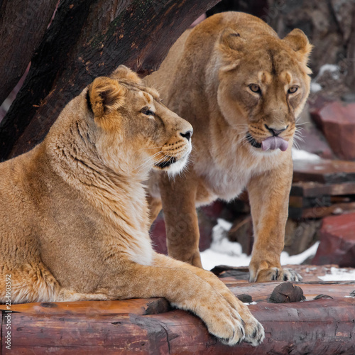 Two beautiful female lionesses  friends - one looks at you and licks predatory.