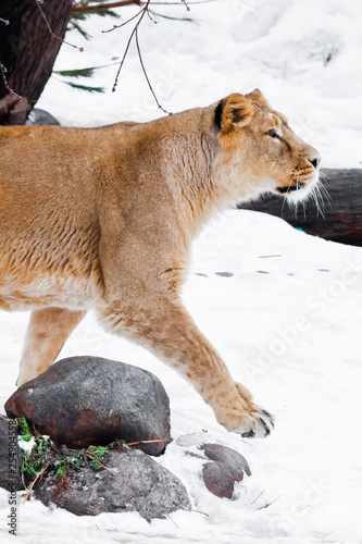 slender Asian lioness walks in the snow, the white background is red wool.