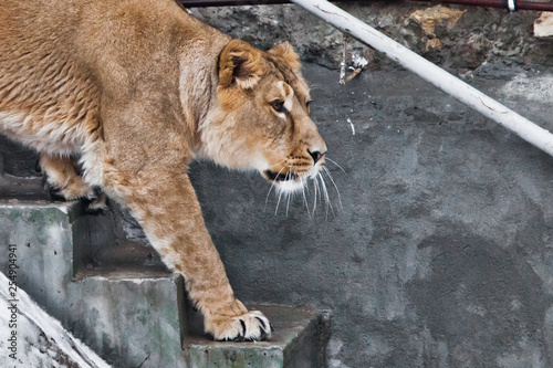 Slender lioness down the stairs