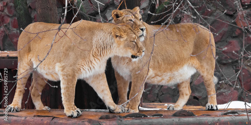 Two lioness girlfriends (females) communicate with each other, they caress.  beautiful female animals.