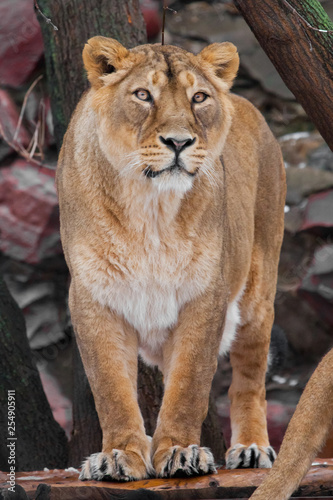 proud female lioness is standing full face, a beautiful body of a predator, the eyes look on you.