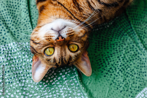 Relaxed cat looking at camera, top view. Fat half-breed bengal cat with green-yellow eyes. Lying on his back, face turned to camera. On the background of a green sheet.