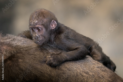 Baby female gorilla against mother