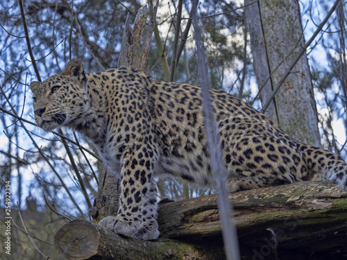 Persian Leopard male, Panthera pardus saxicolor, sitting on a branch