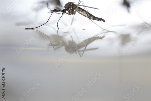 Anopheles sp. is a species of mosquito in the order Diptera, Anopheles sp. in the water for education. - 254931716