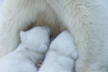 Polar Bear mom feeding twins cubs. © Anton Belovodchenko
