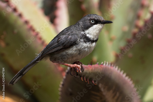 Bar-throated Apalis (Apalis thoracica) sitting on a cactus at Breede River, Western Cape, South Africa.