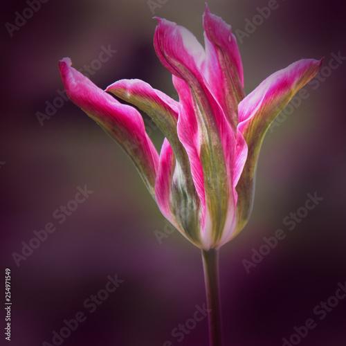 pinke Tulpe in künstlerischer Gemäldeform für Leinwanddruck © Piratenbraut