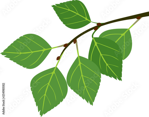 Branch of birch with green leaves isolated on white background - 254980582