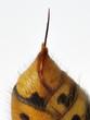 Leinwanddruck Bild - Stachel der Hornisse am gelbschwarzen Hinterleib vor weißem Hintergrund