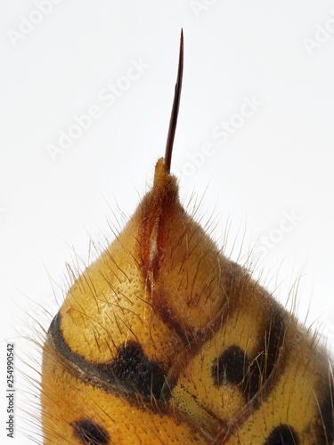 Leinwanddruck Bild Stachel der Hornisse am gelbschwarzen Hinterleib vor weißem Hintergrund