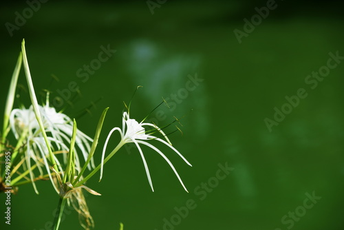 Beautiful flowers in the garden beside the house.Green leaves with beautiful sunlight Used as a background image.Colorful flowers With butterflies and insects in the morning .Colorful flowers in city  - 254993955
