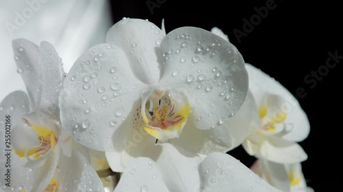 camera moves around of blossom orchids covered by water drops.