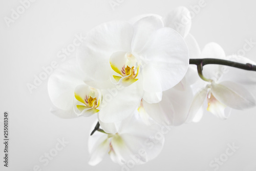 Branch of white orchids on gray background.