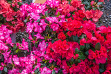 Bright red and purple azalea flowers with rain drops top view