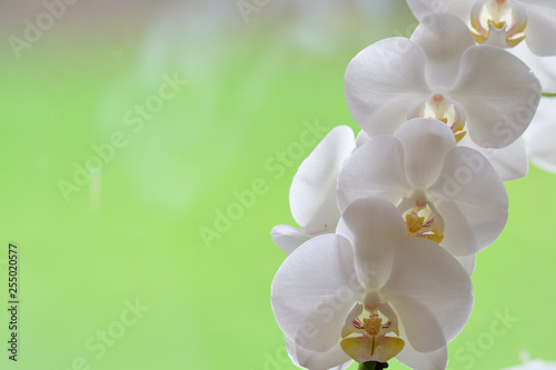 Close up of a cluster of white orchids - 255020577