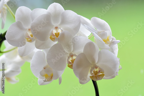 Close up of a cluster of white orchids - 255020590