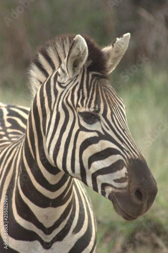 Zebra - 255022969