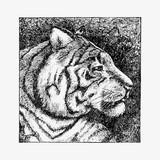 Tiger head in profile