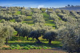 Olive groves in the countryside of southern Italy.