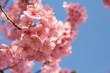 青く澄んだ空と満開の河津桜のクローズアップ - 255063514