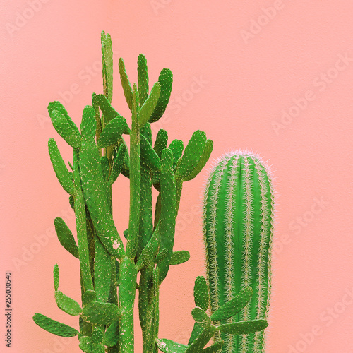 Cacti on the pink wall. Plants on pink fashion idea - 255080540