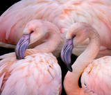 pink flamingos close up in the detail