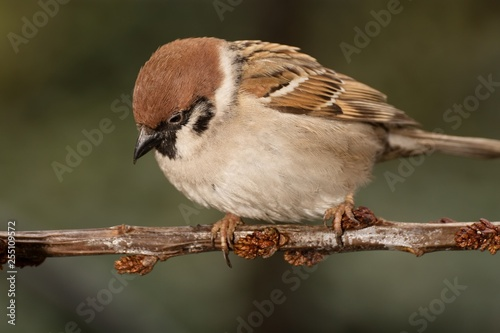 Foto Murales Tree sparrow (Passer montanus) on a branch.  East Moravia. Europe.