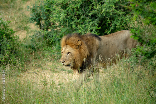 Large male lion doing a patrol