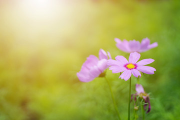 Close up of blooming cosmos flower with blurred background