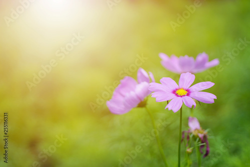 Close up of blooming cosmos flower with blurred background - 255116331