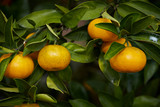 Fresh tangerine tree