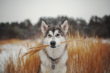 Winter portrait of a northern dog