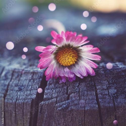 daisy flower plant in the garden