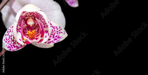blooming beautiful orchid on a black background - 255142511