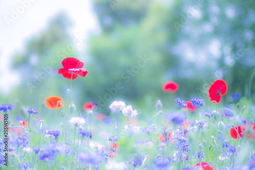 Poppy - 255145105