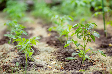 Young tomato seedlings. Growing tomatoes on the vine, tomatoes growing on the branches.