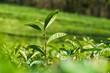 The stalk of the tea Bush green . The northernmost tea in the world grows in Sochi. Tea plantation Matsesta tea.