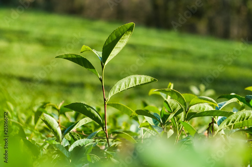 The stalk of the tea Bush green . The northernmost tea in the world grows in Sochi. Tea plantation Matsesta tea.