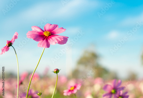 Closeup beautiful pink cosmos flower with blue sky background, selective focus - 255174105