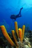 Scuba diver swims above orange sponges
