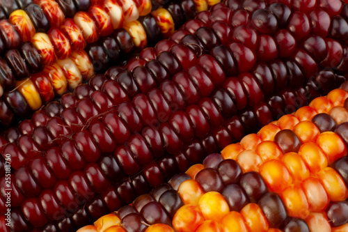 Ornamental corn closeup background © Leonid Nyshko