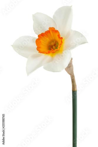 Narcissus spring flower on white © Leonid Nyshko