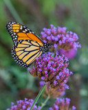 Summer Monarch