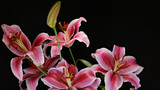 Dramatic group portrait of festive oriental lilies of bright pink and white set against a pure black background