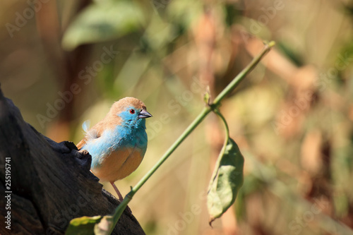 The blue waxbill (Uraeginthus angolensis), called blue-breasted cordon-bleu sitting on the branch.