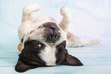French bulldog posing over pastel background