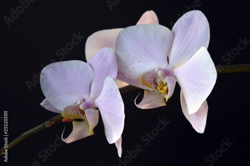 beautiful blooming orchid on a black background - 255203101